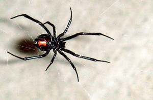 Black Widow Spiders hide in water meters