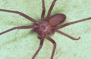 Venomous Brown Recluse Spiders