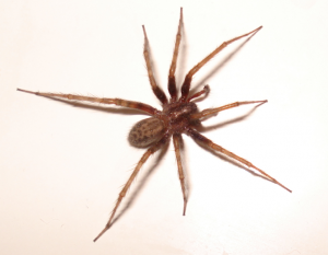 Annoying House Spider