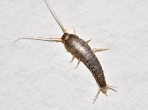 Getting rid of silverfish in your home.