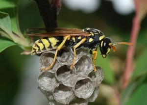 Stinging Female Yellow Jacket