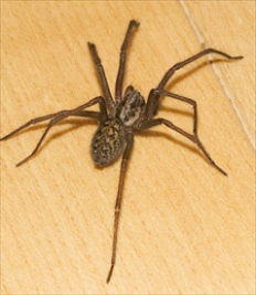 common-house-spiders.jpg