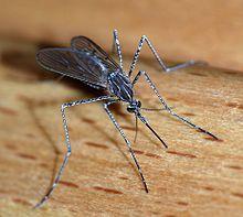 Mosquito Nashville