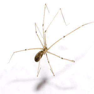 Long Legged Cellar Spider
