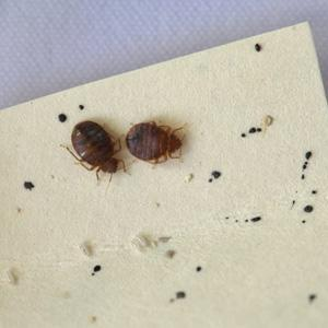 Bed Bug Infestation Archives Home Of Absolute Pest Control