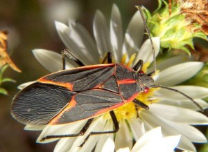 Pesky Box Elder Bugs