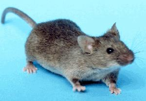 Mice infestion services