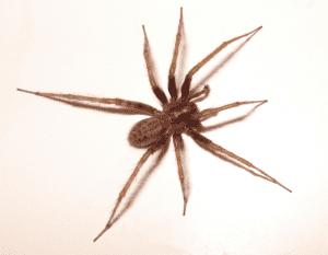 Annoying House Spider