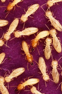 Termite prevention from Absolute Pest Control