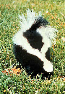 Skunk removal Nashville from Absolute Pest Control