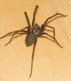 common-house-spiders.jpg