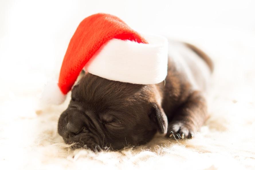 dog-christmas-xmas-bulldog-large